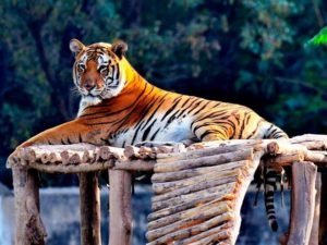 The World Should Learn to Love Tigers through Indian method