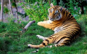 The World Should Learn to Love Tigers through Indian methods